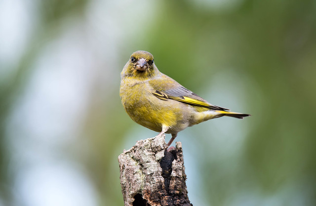 Verdelhao | Carduelis chloris | European Greenfinch