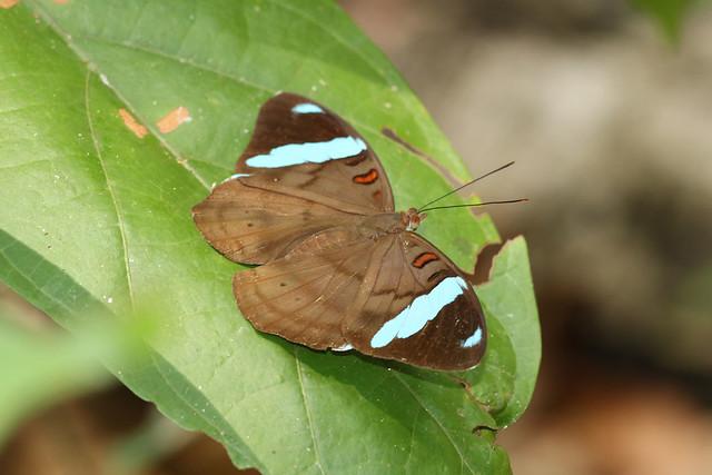 Nessaea obrinus - Obrina Olivewing