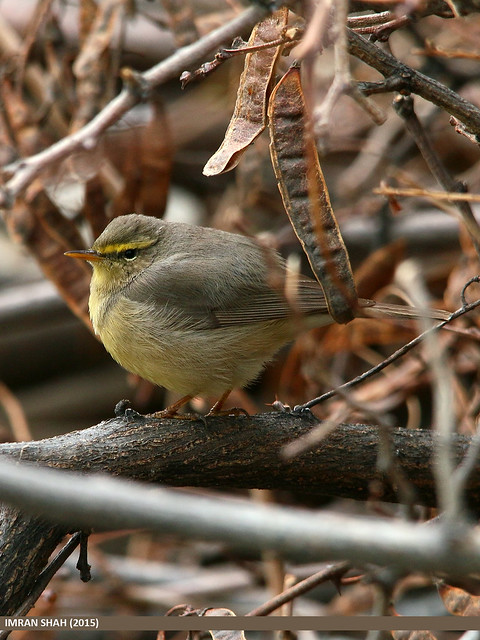 Tickell's Leaf Warbler (Phylloscopus affinis)