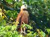 Águila Cienaguera, Black-collared Hawk (Busarellus nigricollis) by Francisco Piedrahita