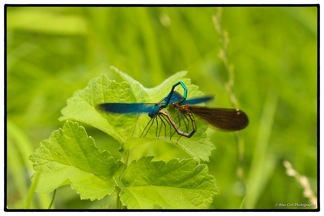 Beautiful Demoiselles mating