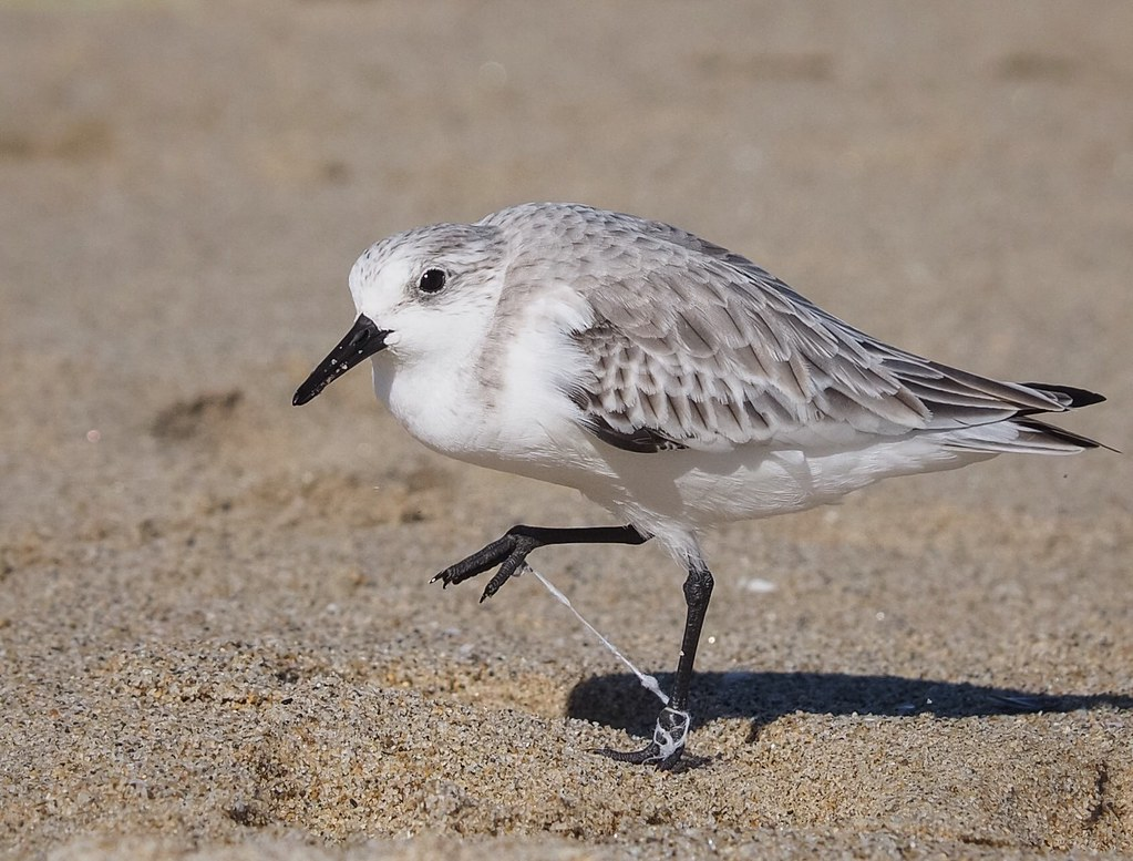 The Story of Stuff - Sanderling Impaired by String