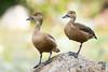 Lesser Whistling Ducks (Dendrocygna javanica) by Jerold Tan