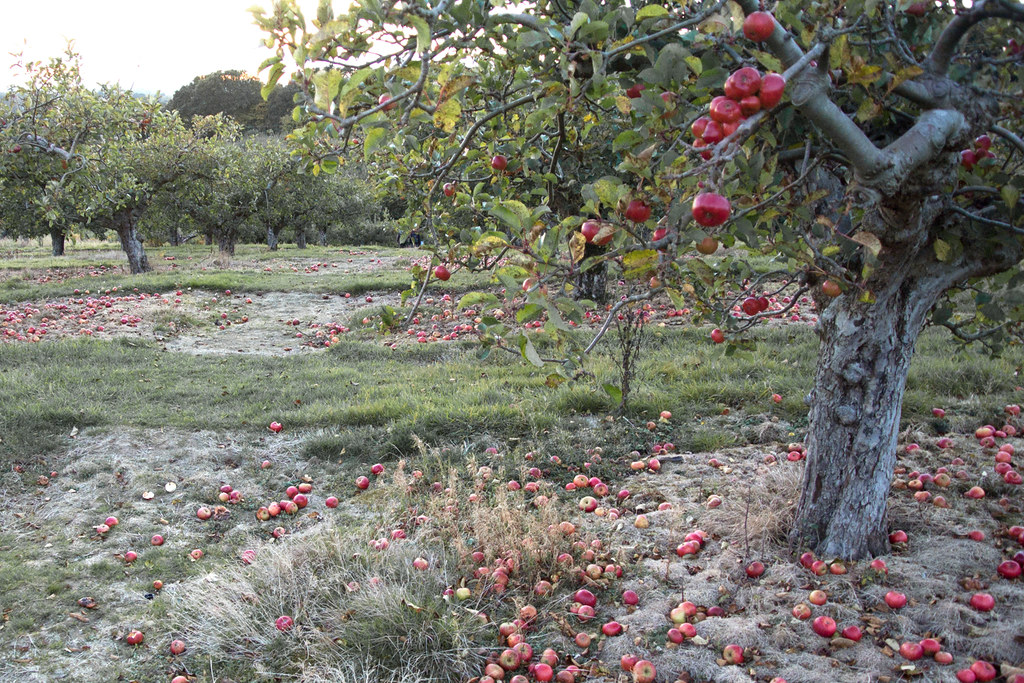 Apple Orchard Robertsbridge Circular