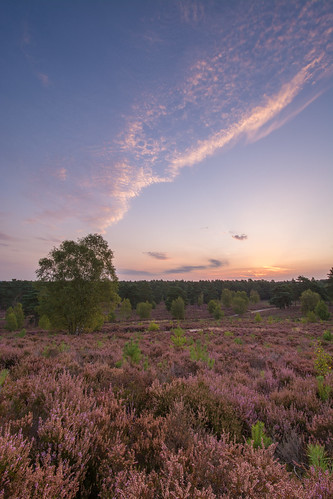 heath heathland sunrise surrey witleycommon heather nature