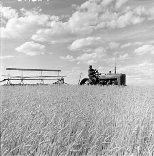 Swathing wheat during the harvest on the Matador Cooperative Farm, about 40 miles north of Swift Current, Saskatchewan / Andainage du blé à la coopérative agricole Matador, à environ 65 km au nord de Swift Current (Saskatchewan)