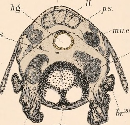 "Image from page 370 of ""The embryology and metamorphosis of the Macroura"" (1891]) 