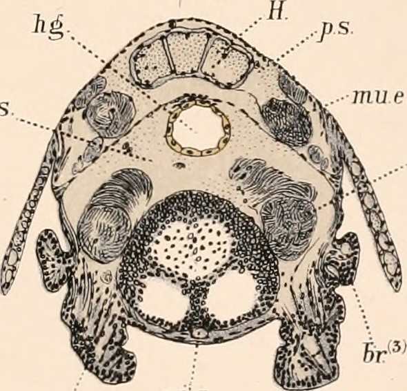 "Image from page 370 of ""The embryology and metamorphosis of the Macroura"" (1891])"