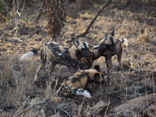 PC090963 African wild dogs | by Joanna P Dale