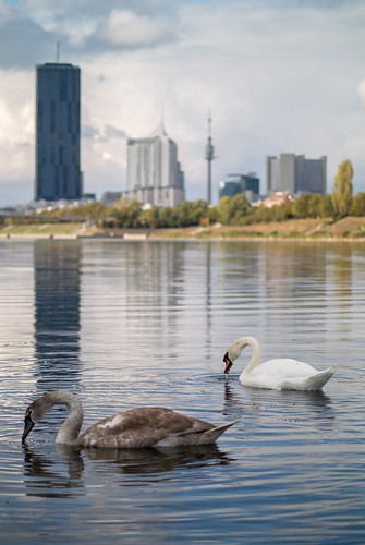 A couple of swans on the Danube river with VIC in the background | by Ivan Radic
