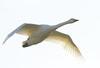 _MG_0115 Whooper Swan by sam.creighton