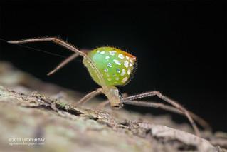 Mirror comb-footed spider (Thwaitesia sp.) - DSC_3311