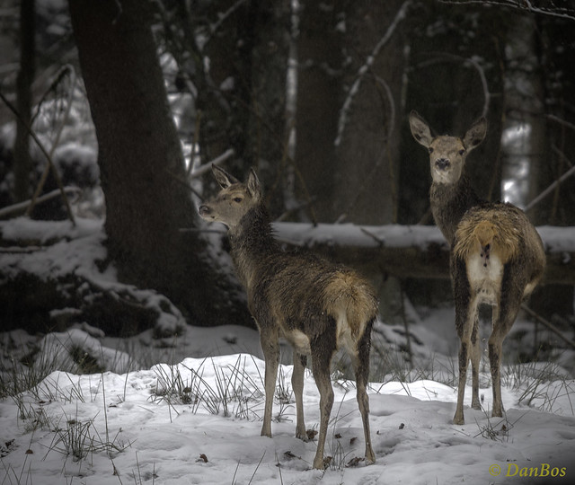 Young Deers in a winter morning