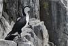 Black-faced Cormorant_15-11-03_Phalacrocorax fuscescens by Langham Birder