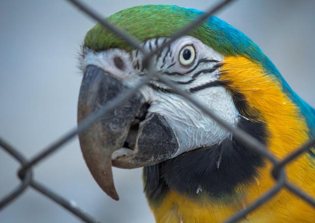 Zoo animals (series 6/9) - Ara ararauna (arara-canindé)
