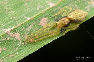 Crab spider (Thomisidae) - DSC_2135