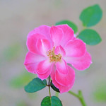 Rose, Fresh Pink, バラ, フレッシュピンク,