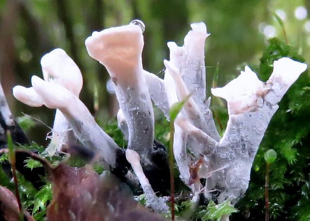 Geweizwammetje  (Xylaria hypoxylon)