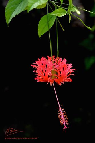 flowers red flores flower rot nature plante asian rouge photography photo amazing nikon asia philippines natur blumen hibiscus planes tropical asie amateur plantes gumamela asiatique ambiance photographe romblon exotique naturel tropicale schizopetalus d7100 nikonflickraward asiqtique anahao