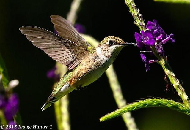Female Ruby-throated Hummingbird - Allen Acres / Pitkin, Louisiana