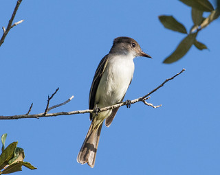 La Sagra's Flycatcher | by Laura Erickson