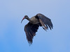 Hadada ibis / Hagedasch (Bostrychia hagedash) by ralph_behrens
