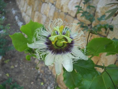Passion Fruit still Flowering a Oct 12, 2015 | by toutberryfarms