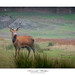 Red Stag - Bradgate Park by Ken Walker Photography
