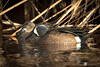 Blue-winged Teal Pair by Chasing Photons