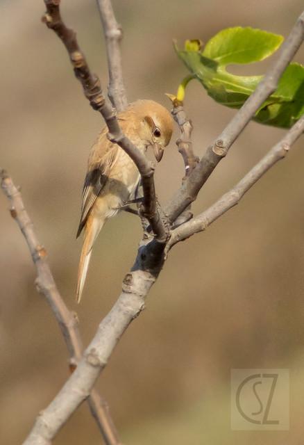 Lanius isabellinus / Alcaudón Isabel / Capsigrany pàl·lid / Daurian shrike