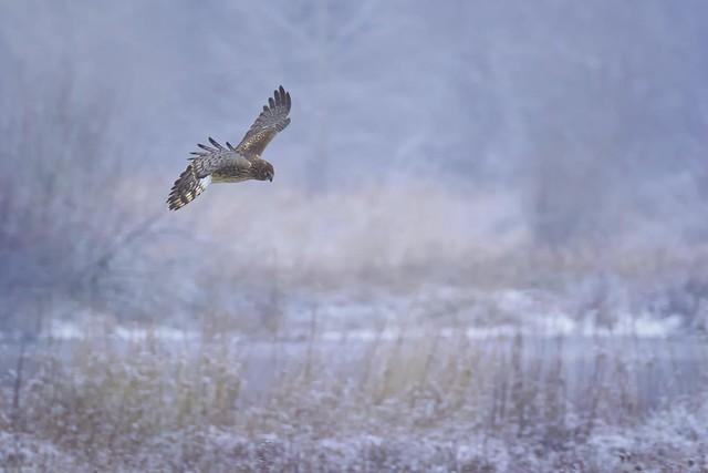 Harrier (r)