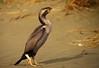 Spotted shag Phalacrocorax punctatus(cormorant) goes walkabout by Maureen Pierre