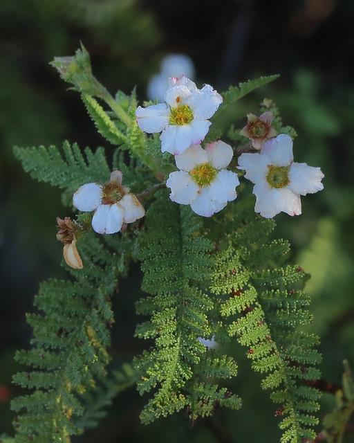 J20170105-0059—Chamaebatia australis—RPBG