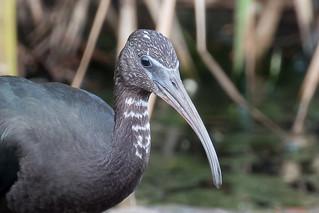 glossy ibis (Plegadis falcinellus)-6890 | by rawshorty