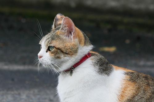 IMG_5289 Calico Japanese cat 縞三毛猫