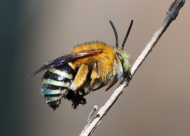 Blue Banded Bee - male