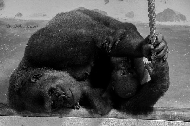 Lisbon Zoo (3) - Dreaming Gorilla embracing her Baby