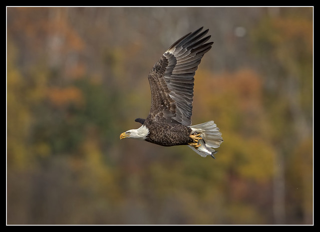 Autumn Eagle...