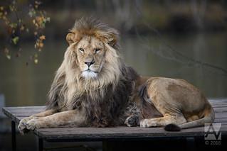 Lion | by Arend Vermazeren