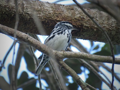 Black-and-white Warbler | by Justin Lee (NoNameKey)