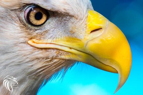 americanbaldeagle baldeagle birds birdsofprey eagle gardenstate godblessamerica haliaeetusleucocephalus mothernature nikonafs200500mmf56eedvr nikond500 ornithology raptortrust raptors wildlife wildlifephotography
