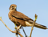 Brown Falcon (Falco berigora).Fogg Dam.Northern Territory.Australia.September 2014.re-edit.01 by Geoff Whalan