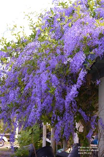 Petrea racemosa | by tftsmiami
