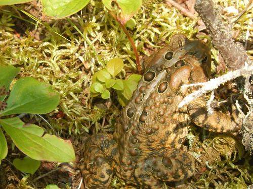 Gros Morne NP - Berry Head Pond - kikker