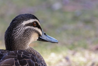 Pacific Black Duck | by gus.meredith