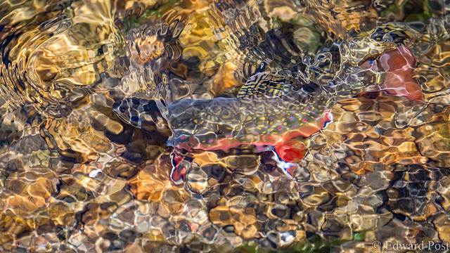 Trout Abstract