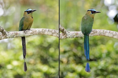 southamerica nature birds wildlife aves bluecrownedmotmot quindío coraciiformes momotusmomota momotusaequatorialis momotidae andeanmotmot highlandmotmot september2015 048955