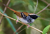 Formigueiro-assobiador (Myrmoderus loricatus) macho