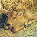 Calf resting in hay, India