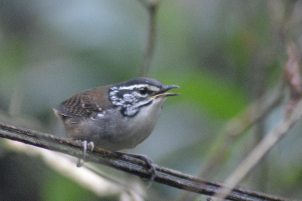 white breasted wood wren, NGID11154532